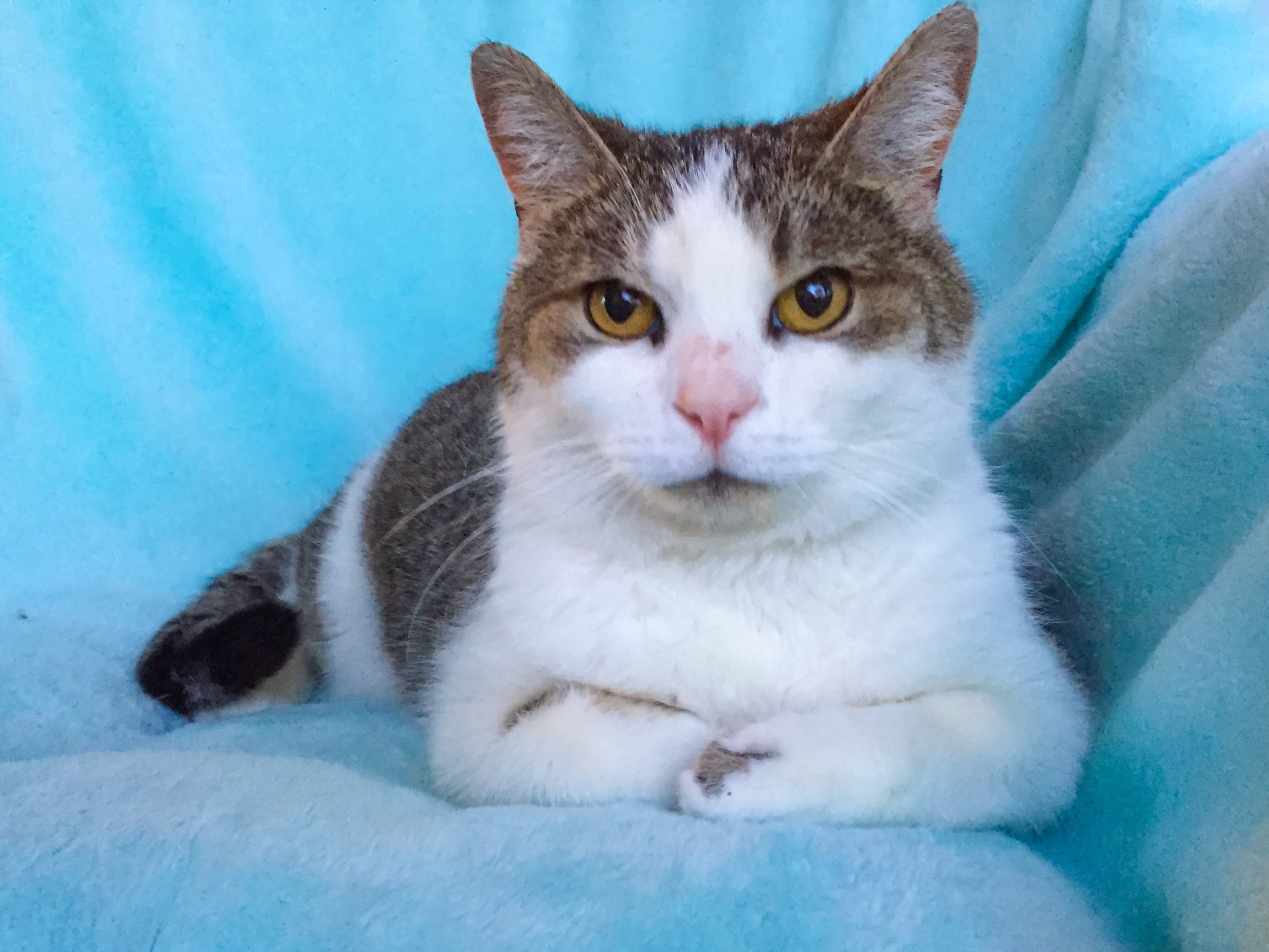 Emory came to us after her owner passed away and she was placed outside.  She is an indoor cat ...read more about Emory