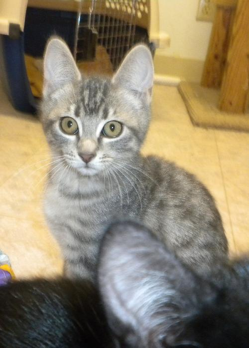silver tabby kittens s web page