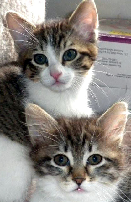 Tabby & White female kitten