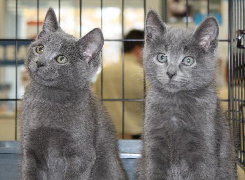 Russian Blue Mix Kittens 2 Males Web Page