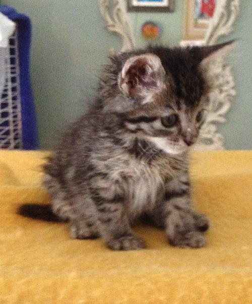 Maine Coon/Tabby kittens' Web Page