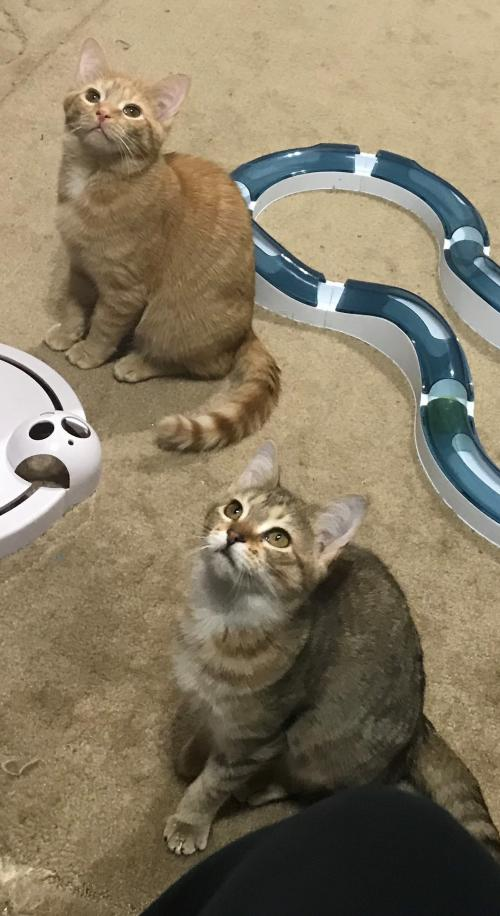 Pumpkin and Spice - Bonded Pair - Kitten A