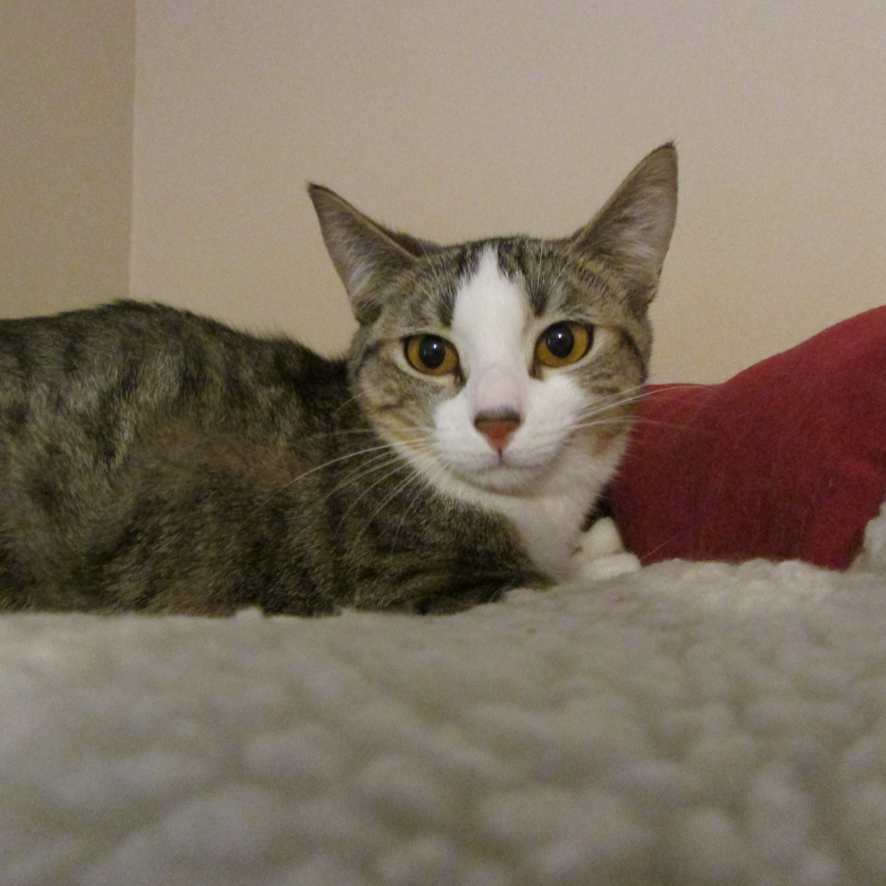 Declawed Cats For Adoption In Minneapolis