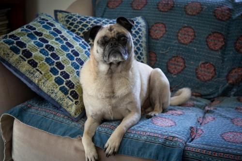 Available Pugs – Pug Rescue Of New England