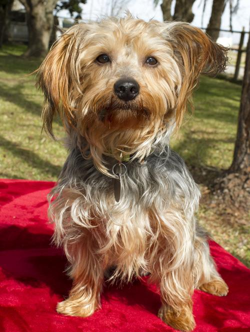 chewy handsome little yorkie mix boy s web page