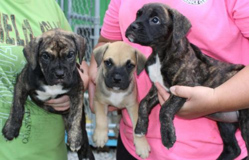 boxer mix puppies web page