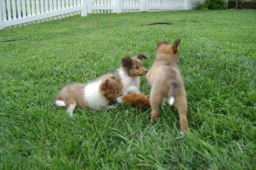Sheltie Puppies Web Page
