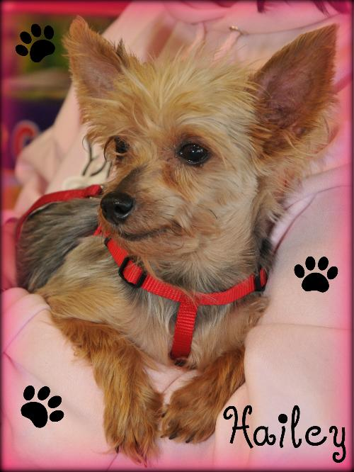 Yorkshire Terrier Kidney Failure Hailey's Web Page