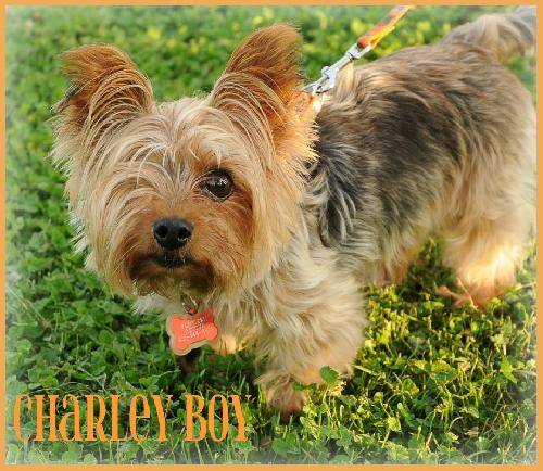 Charley Boy's Web Page Yorkshire Terrier 911