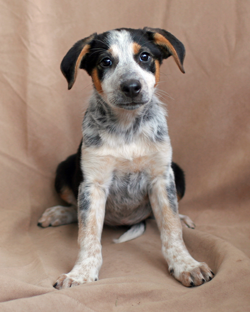 3 tips for training your cattle dog to work stock | Beef ...