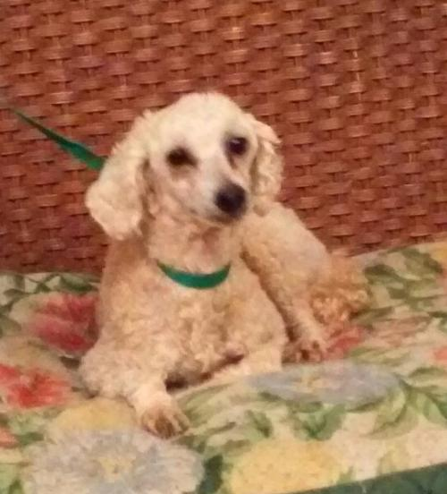 Welcome to Oklahoma Orphaned Poodle Services Rescue