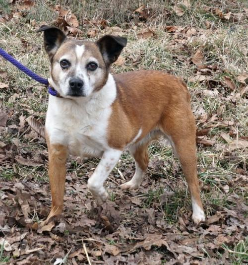 Jack Russell Terrier / Mixed (short coat) Dog