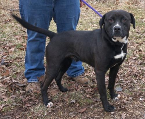 Boxer / Black Labrador Retriever / Mixed (short coat) Dog