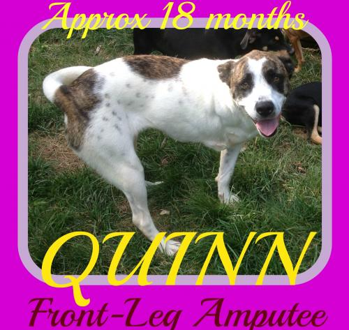 QUINN - Front Leg Amputee