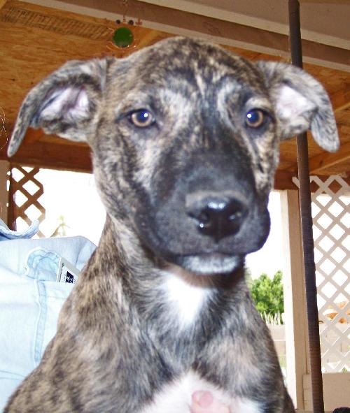 German Shorthaired Pointer / Boxer / Mixed (medium coat) : : Male ...