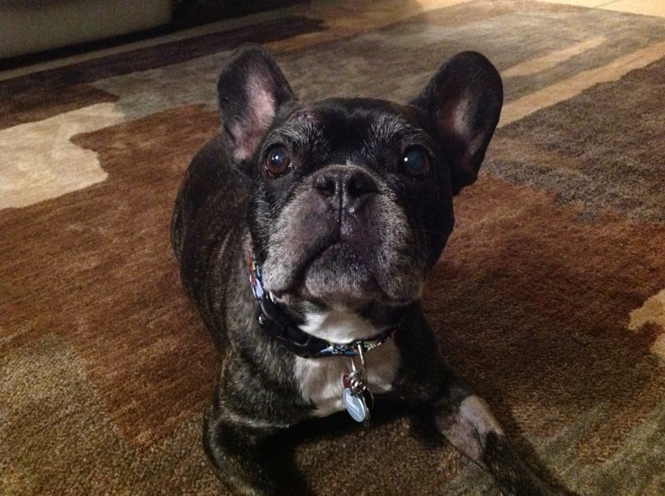french bulldog adoption ma new york french bulldog rescue animals for adoption 426