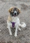 adoptable Dog in MT named Coco