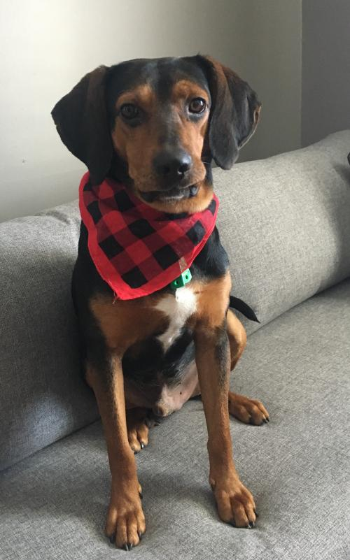Hound / Mixed (short coat) Dog