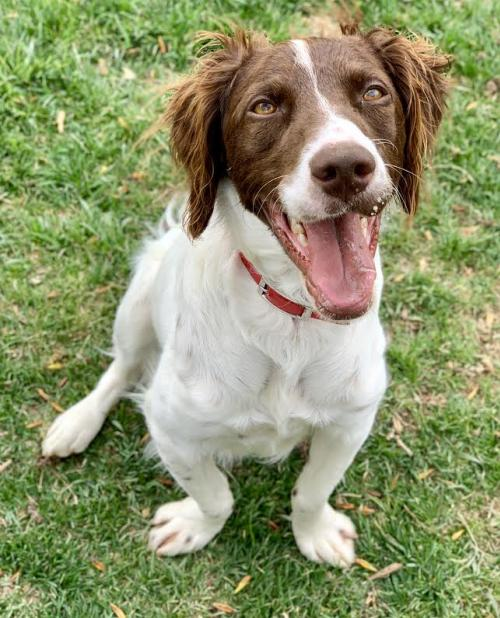 Available Brittanys | National Brittany Rescue & Adoption