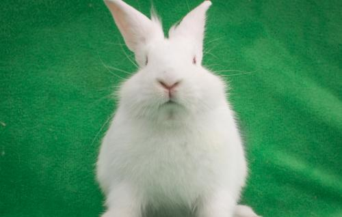 Lionhead / Florida White / Mixed (short coat) Rabbit