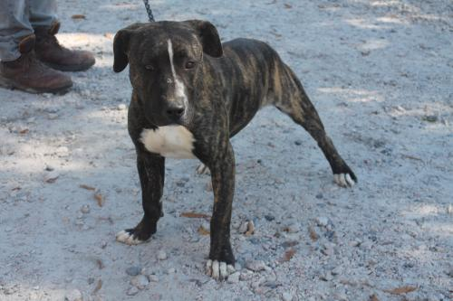 American Staffordshire Terrier / Mixed (short coat) Dog