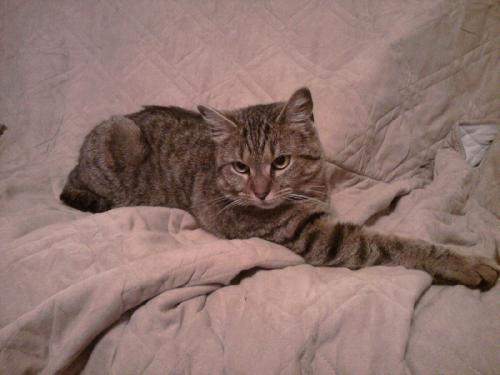 Tabby Cat-ADOPTED