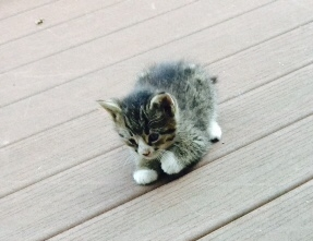 B Kittens- Boots-adopted