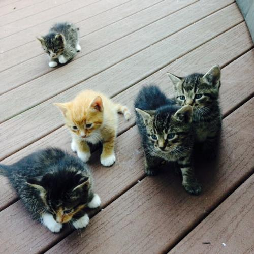 B- kittens- Stripes-adopted