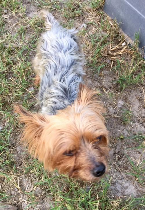 Yorkshire Terrier Yorkie (medium coat) Dog