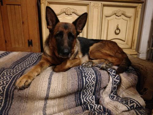 German Shepherd Dog (short coat) Dog