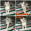 adoptable Cat in  named SNOWFLAKE