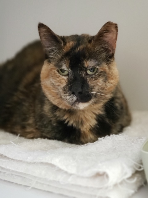 Lulu 2020 (FIV+ and Positively Adoptable!)