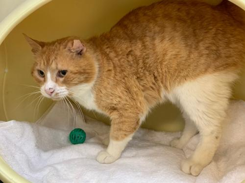 Carter (FIV+ and Positively Adoptable!)