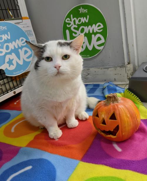 Boston Creme (FIV+ and Positively Adoptable!)
