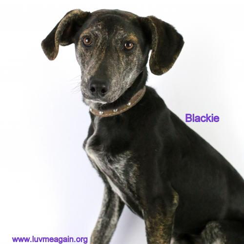 Blackie - Needs Foster