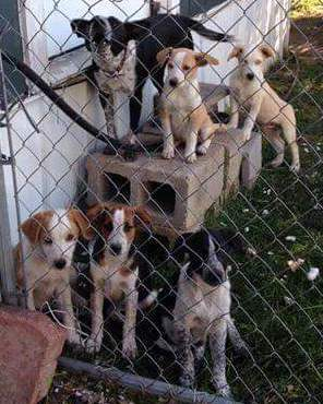 Cattle Dog Puppies - Need Fosters