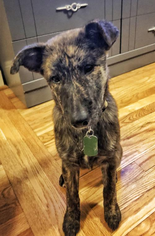 Betty - Cutest Brindle Baby