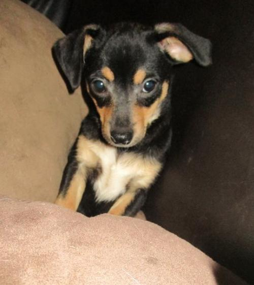 Chihuahua / Mixed (short coat) Dog