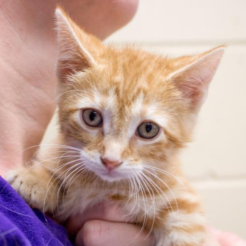 Adoptable Cats at PetSmart West — Humane Society of