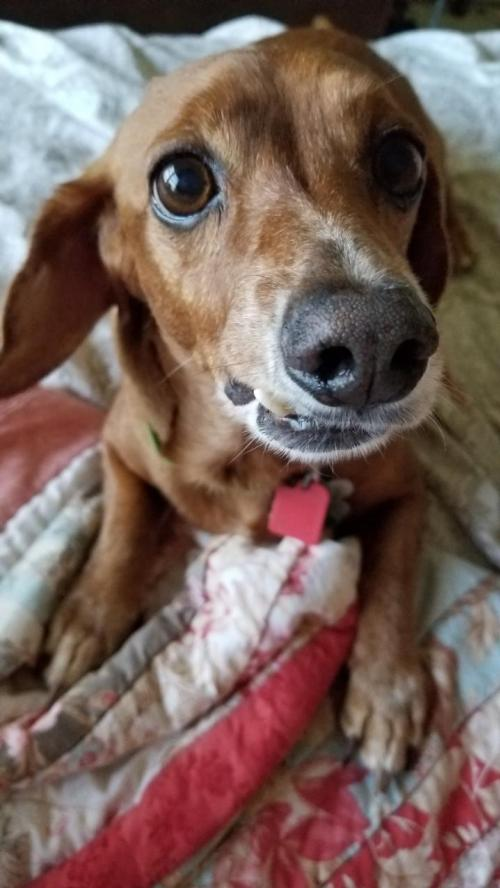 Welcome to Dachshund Rescue of Houston