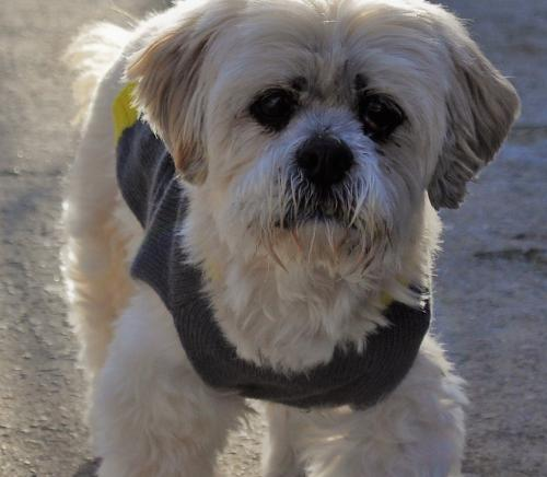 Shih Tzu / Shih Tzu / Mixed (medium coat) Dog