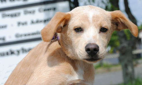 Large image of Sandy The Retriver Mix Puppy