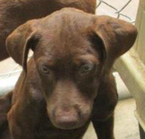 Large image of Chocolate Lab PUPPY