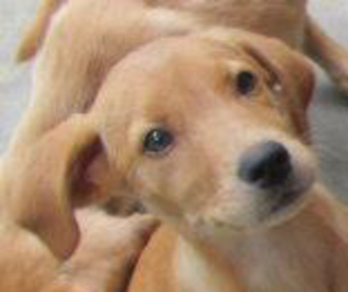 Large image of Yellow Lab PUPPIES!