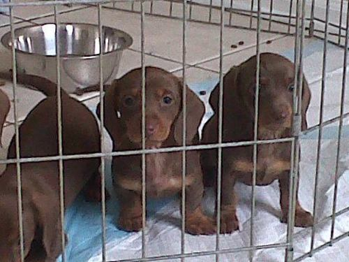 Large image of Mini Doxie puppies