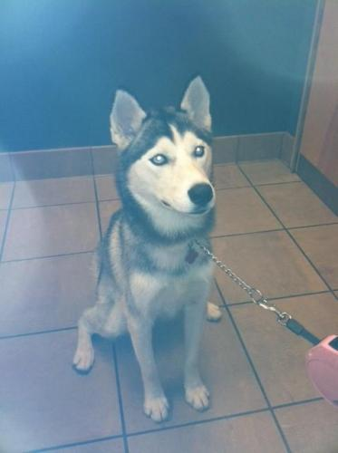 Large image of LOST HUSKY, 1/5/12