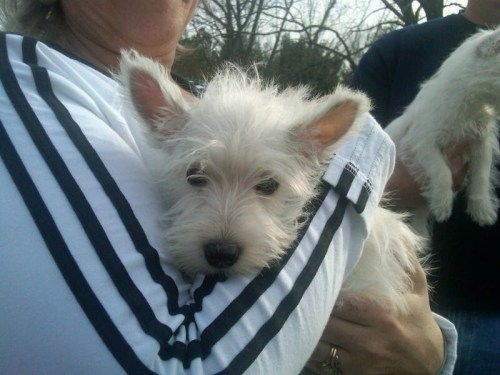 Large image of Westie Puppies