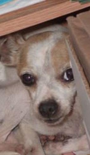 Large image of Molly Chihuahua