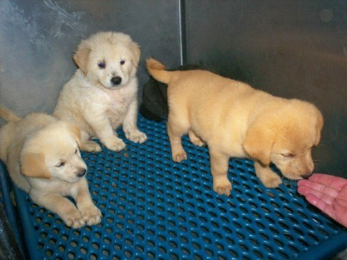 Large image of Golden pups