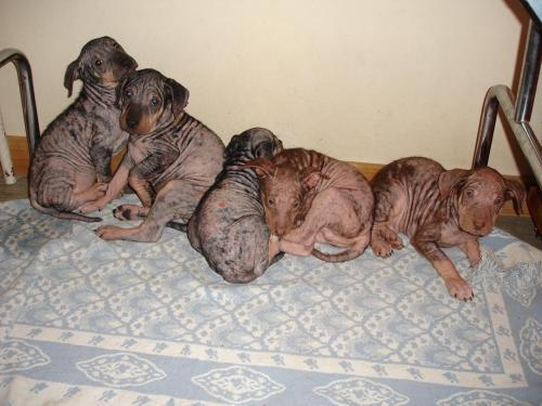 Large image of The hairless 5